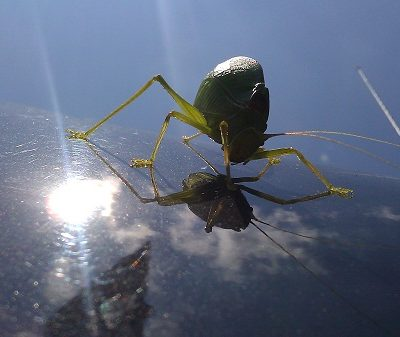 Tribute to the Katydid