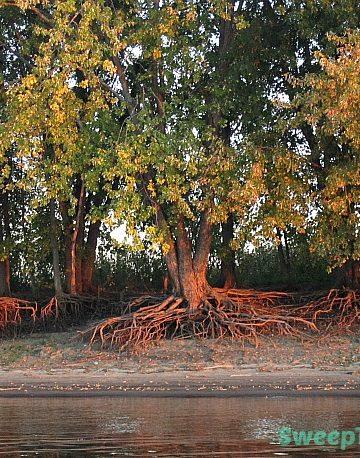 Spooky Trees along the Illinois River