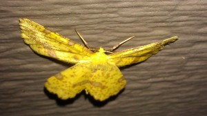 yellow moth face