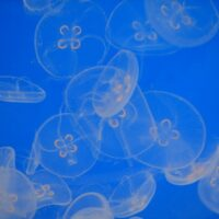 blue jelly fish photography