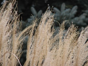 zebra grass seeds