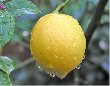 Meyer Lemons...