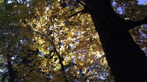 yellow leaves photography