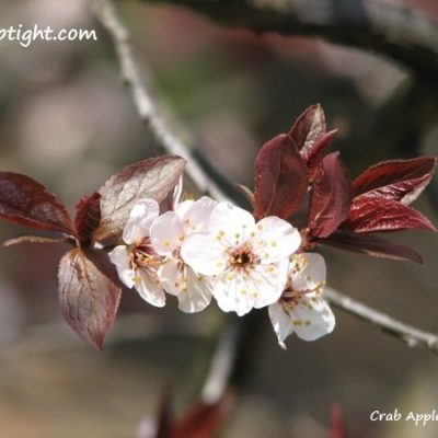 crab apple blossoms photography