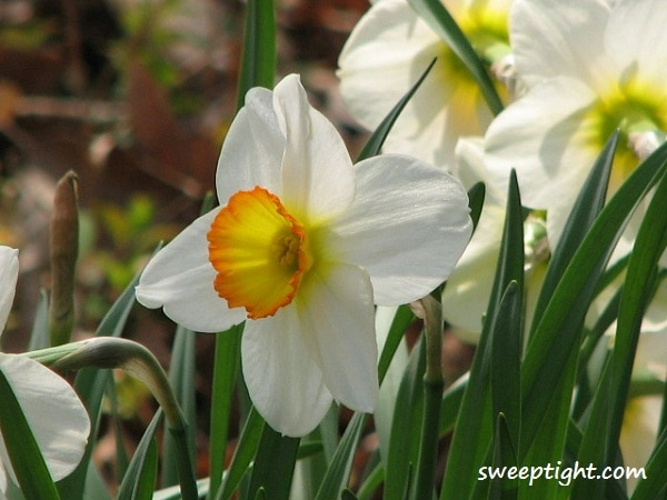white daffodils photography