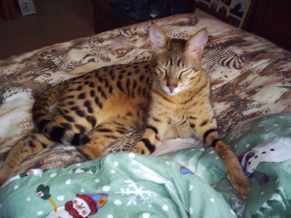 savannah cat photography
