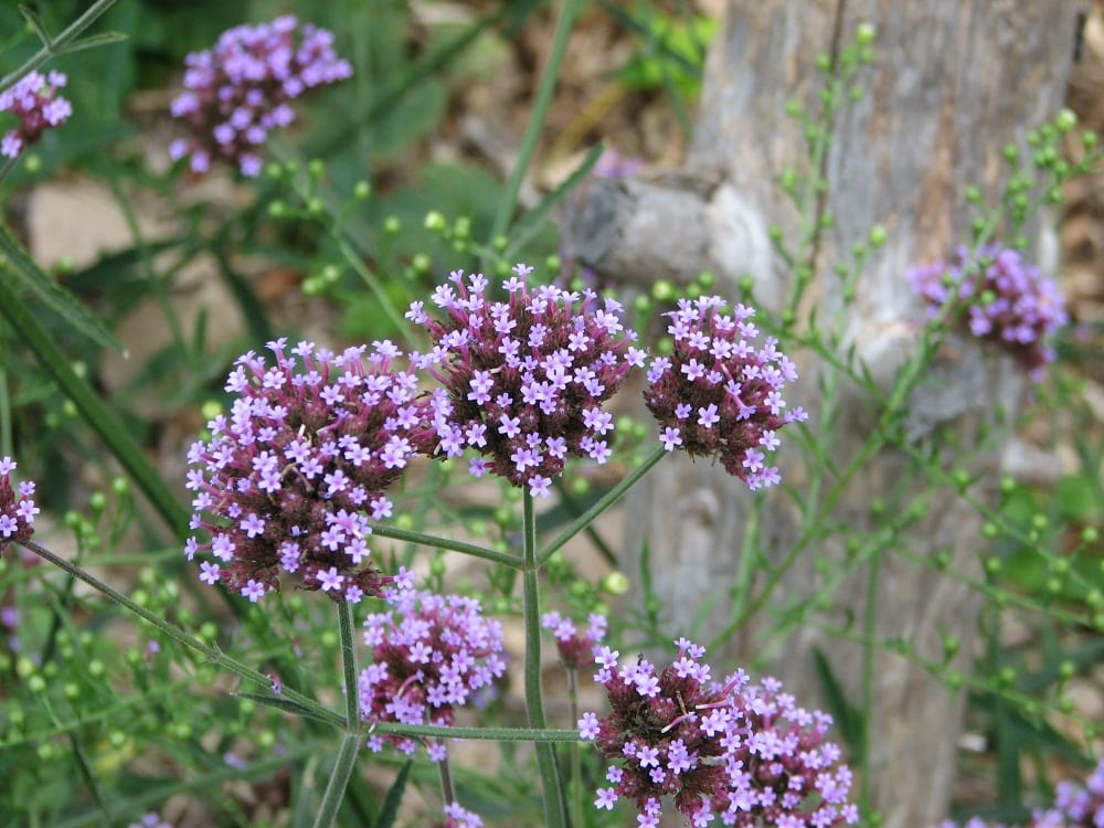 tiny purple flowers photography