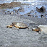 black sand beach turtles