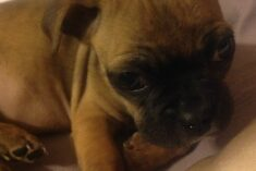 bugg puppy