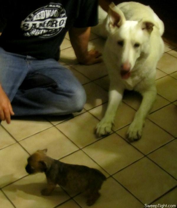 bugg puppy and shepherd