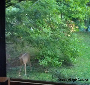 deer in window
