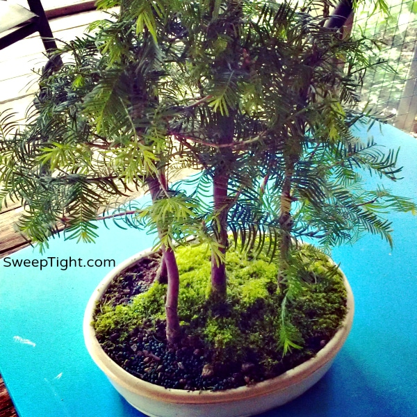 bonsai trees Dawn Redwoods National Houseplant Week