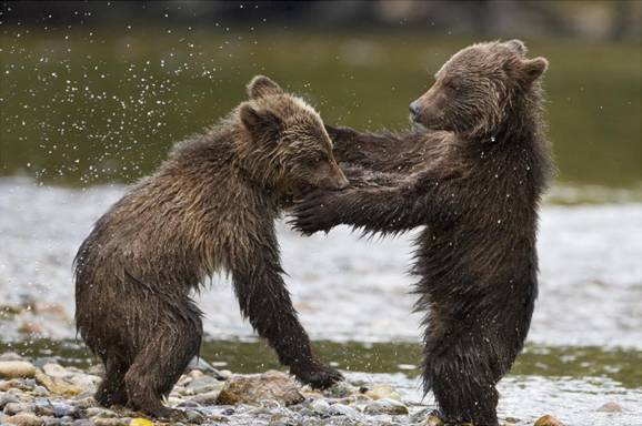 Disneynature's BEARS in Theaters TODAY