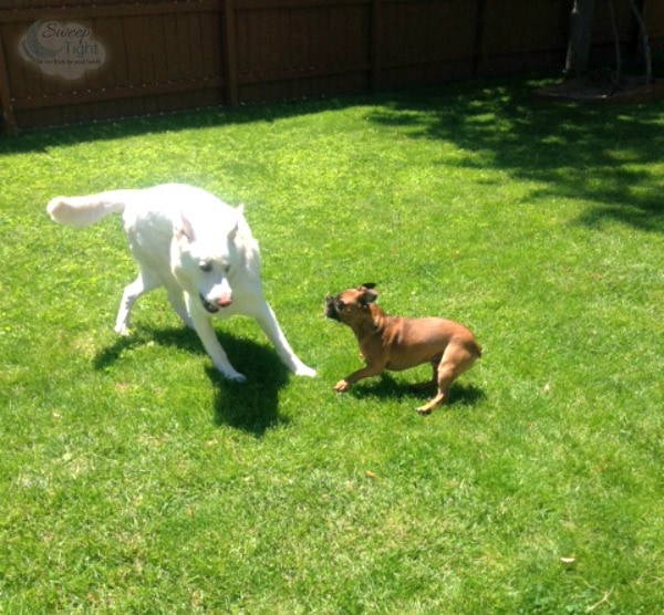 Dogs playing like crazy