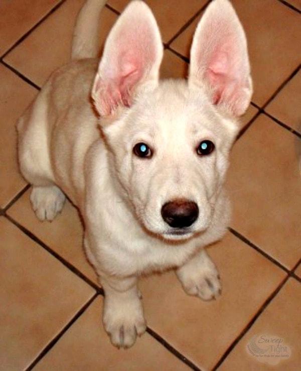 Tiny Hilo pup