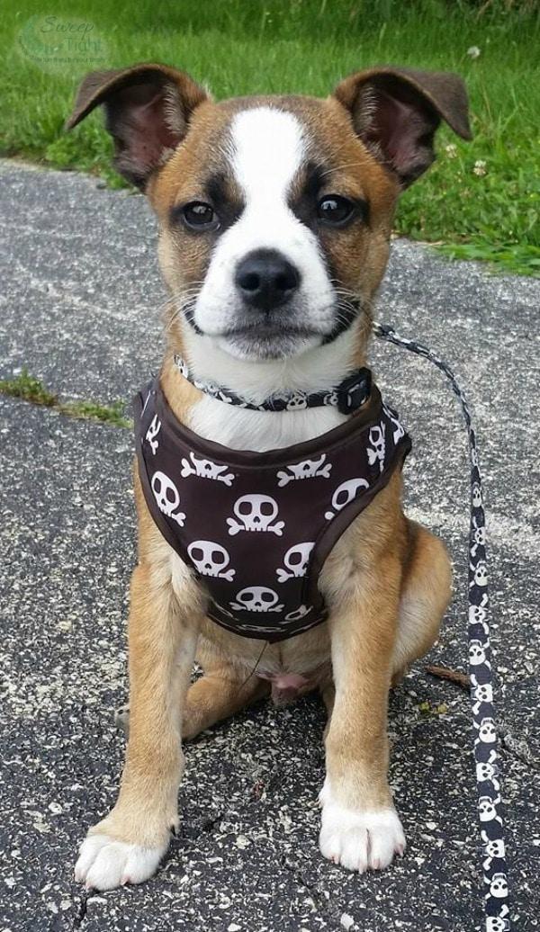 Meet our First Foster Puppy #FosterFrank