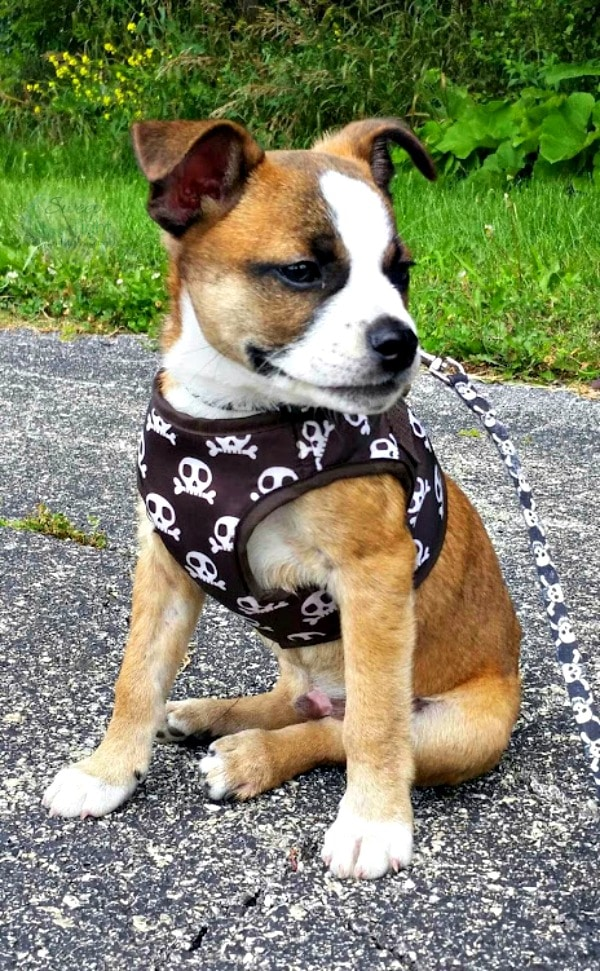 Foster Puppy Boston Terrier Beagle Mix