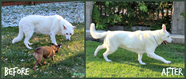 Hilo Can Jump Now Thanks to his Dog Weight Loss #HillsPet
