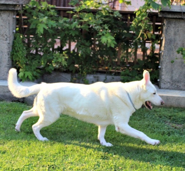 Hilo Can Jump Now Thanks to his Dog Weight Loss