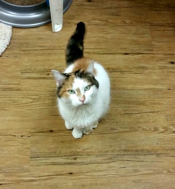 Shelter Cats Come in All Personalities #MyRescueStory This is Portia