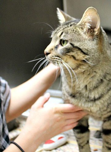Busting Myths About Cat Adoption