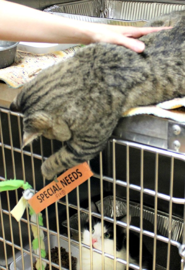 Busting Myths About Cat Adoption #MyRescueStory