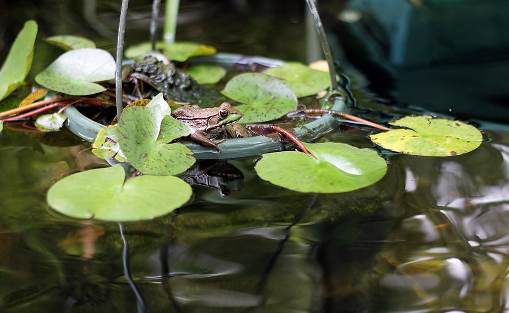 Frog on lily pads in the pond