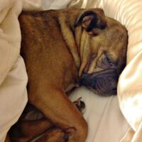 The tiny Grump's favorite hobby - sleeping in our bed. Definitely makes us think about flea and tick prevention!