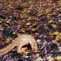 A Pangolin Found in Palos Hills