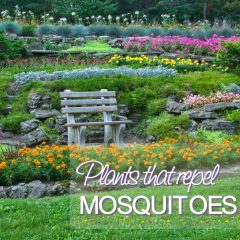 17 Plants that Repel Mosquitoes while Beautifying your Yard