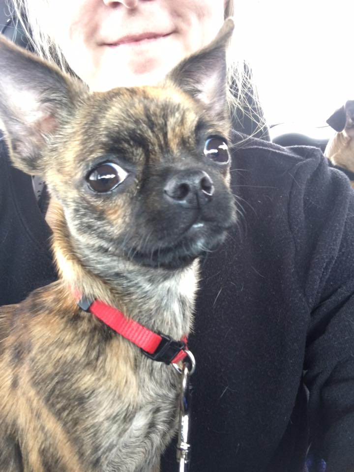 Our New Chihuahua Pug Mix Adoption, Bea