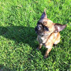 Our New Chihuahua Pug Mix Adoption, Bea – Giveaway