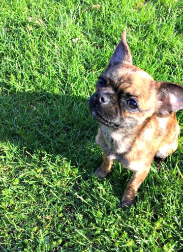 Our New Chihuahua Pug Mix Adoption, Bea