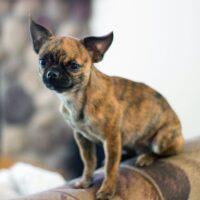 Little Bea applehead chiuhuahua