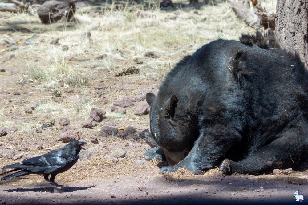 Bear shaming. This raven told this bear to share his food and the result was hilarious. Bearizona is full of funny animal antics!