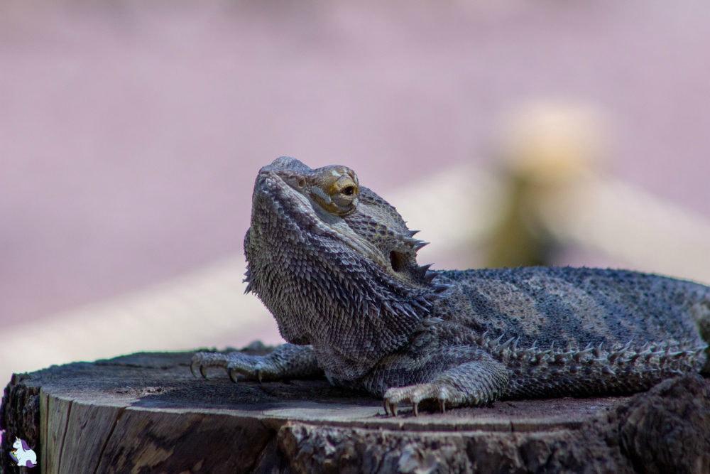 Judgemental bearded dragon at Bearizona.