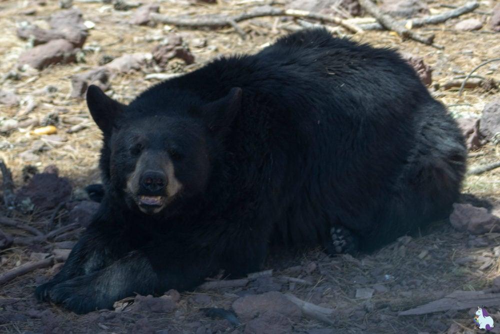 Black bear smiles - Bearizona
