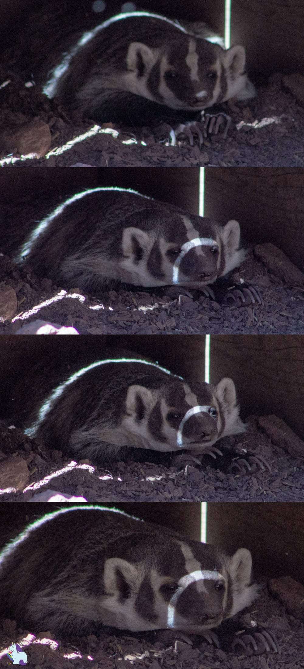 Badger needs coffee and darkness. Bearizona has so many funny creatures!