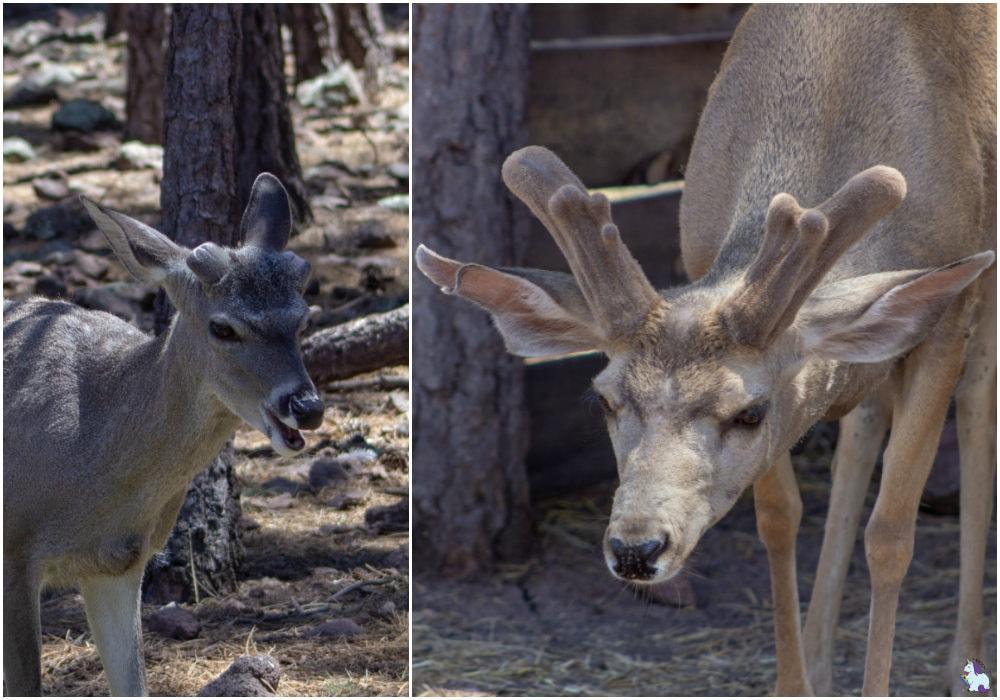 what now? Funny deer at Bearizona.
