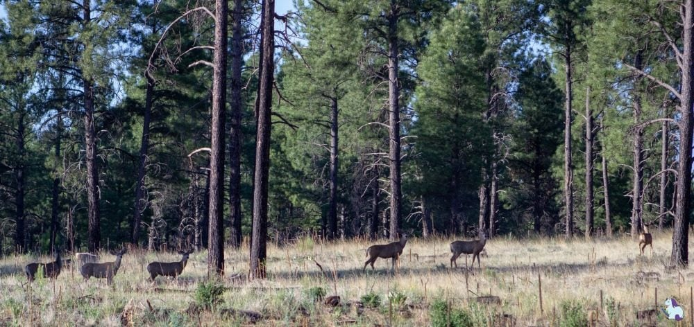 Spotting wildlife on a hike through the ponderosa forest behind Little America Flagstaff