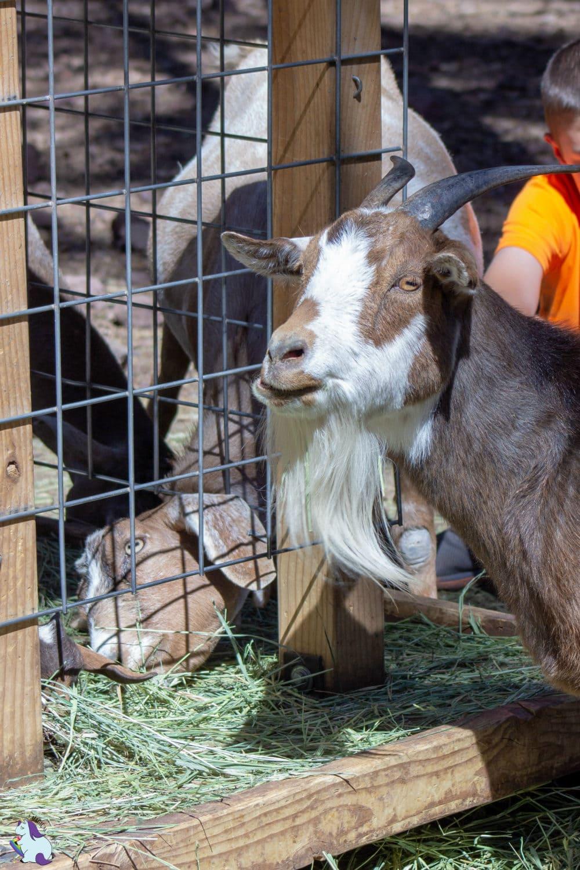 Derpiest goats of Bearizona.