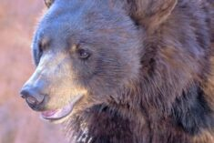 Kindergarten bears at Bearizona