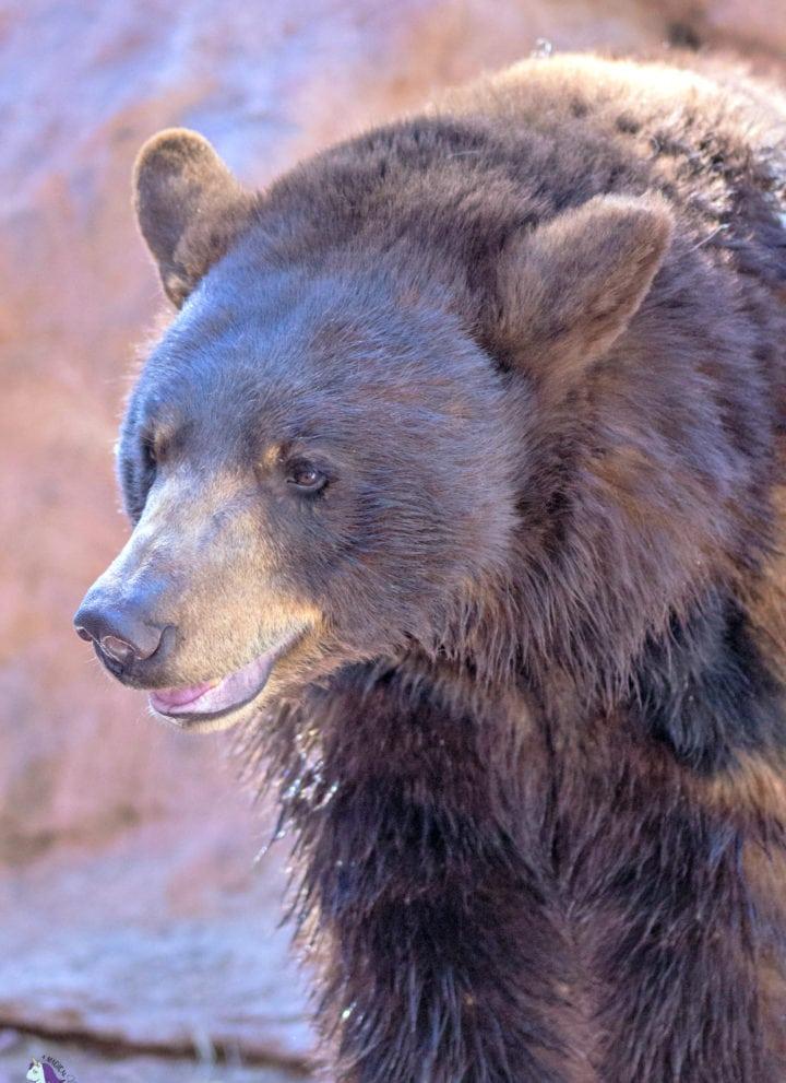 Kindergarten bears at Bearizona