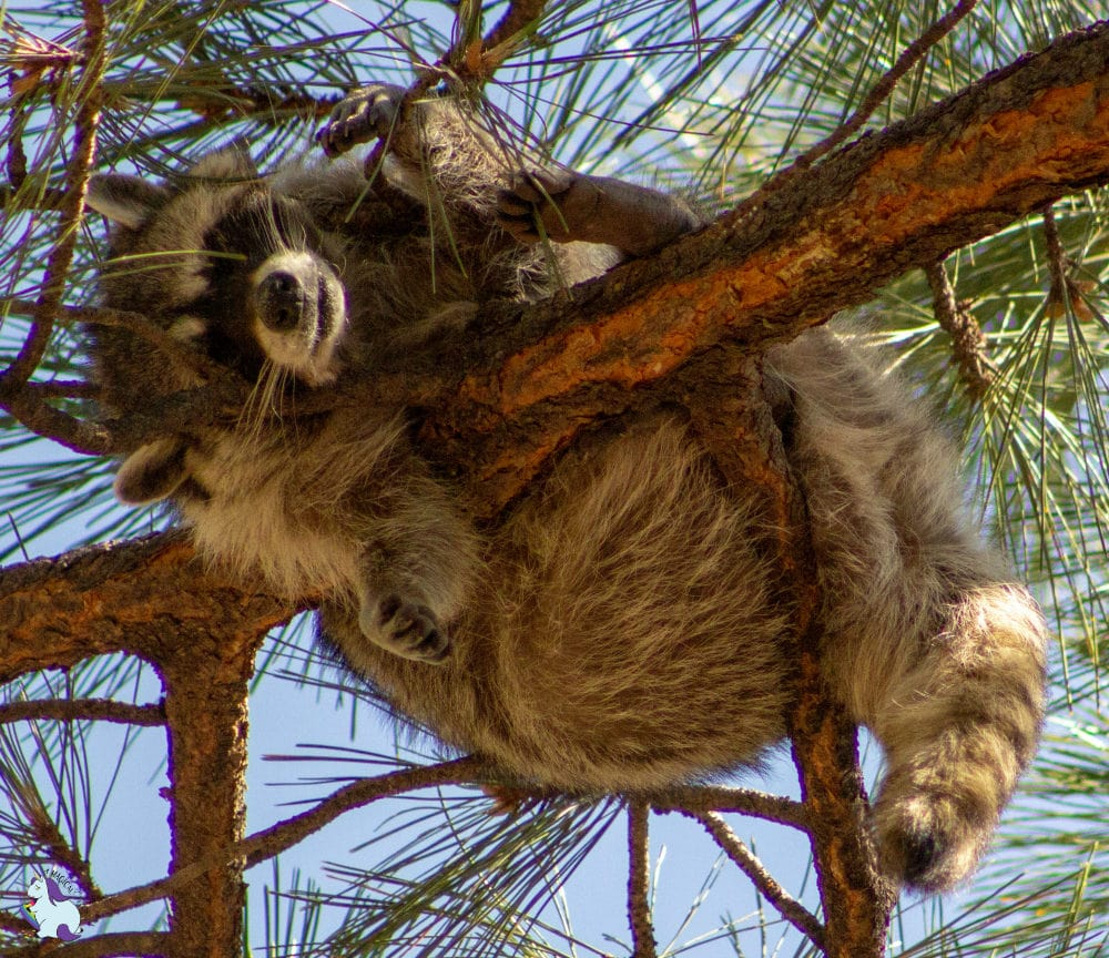 Woah. Rocket has really let himself go. Found him hanging at the top of a really tall tree in Bearizona