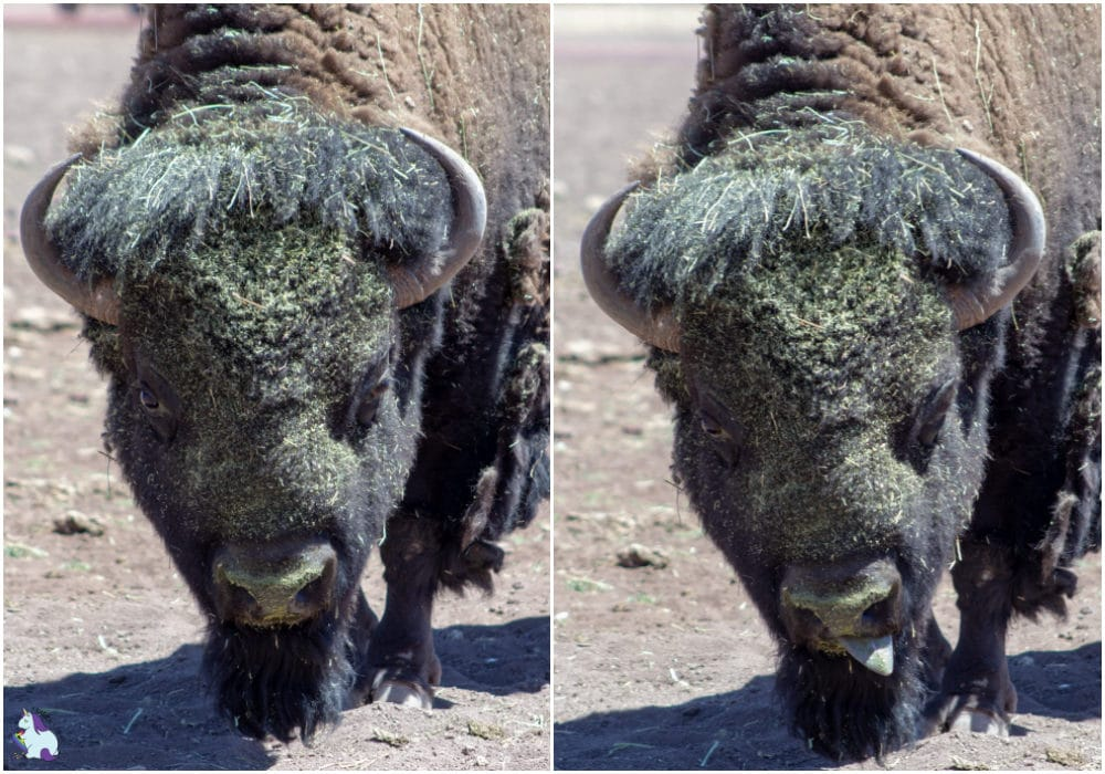 Derpy bison at Bearizona