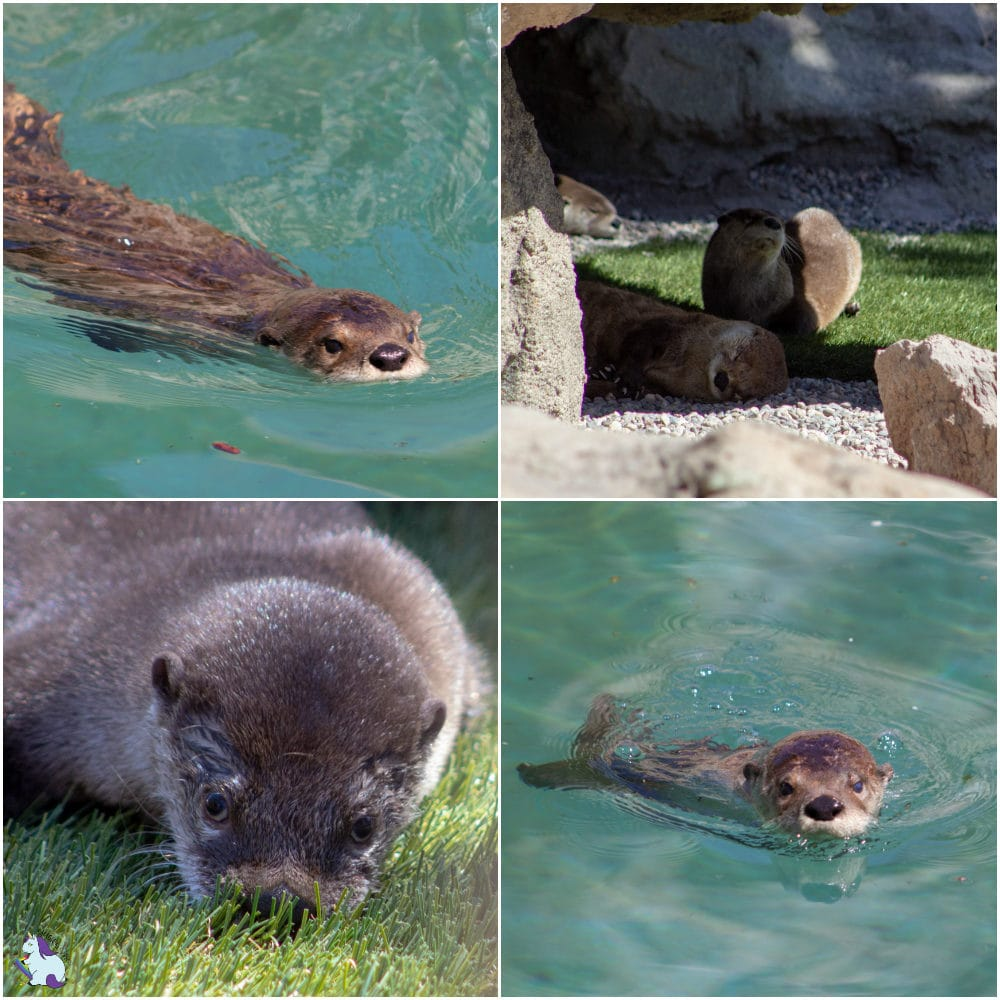 The cutest and derpiest animals at Bearizona. These otters are hysterically adorable!