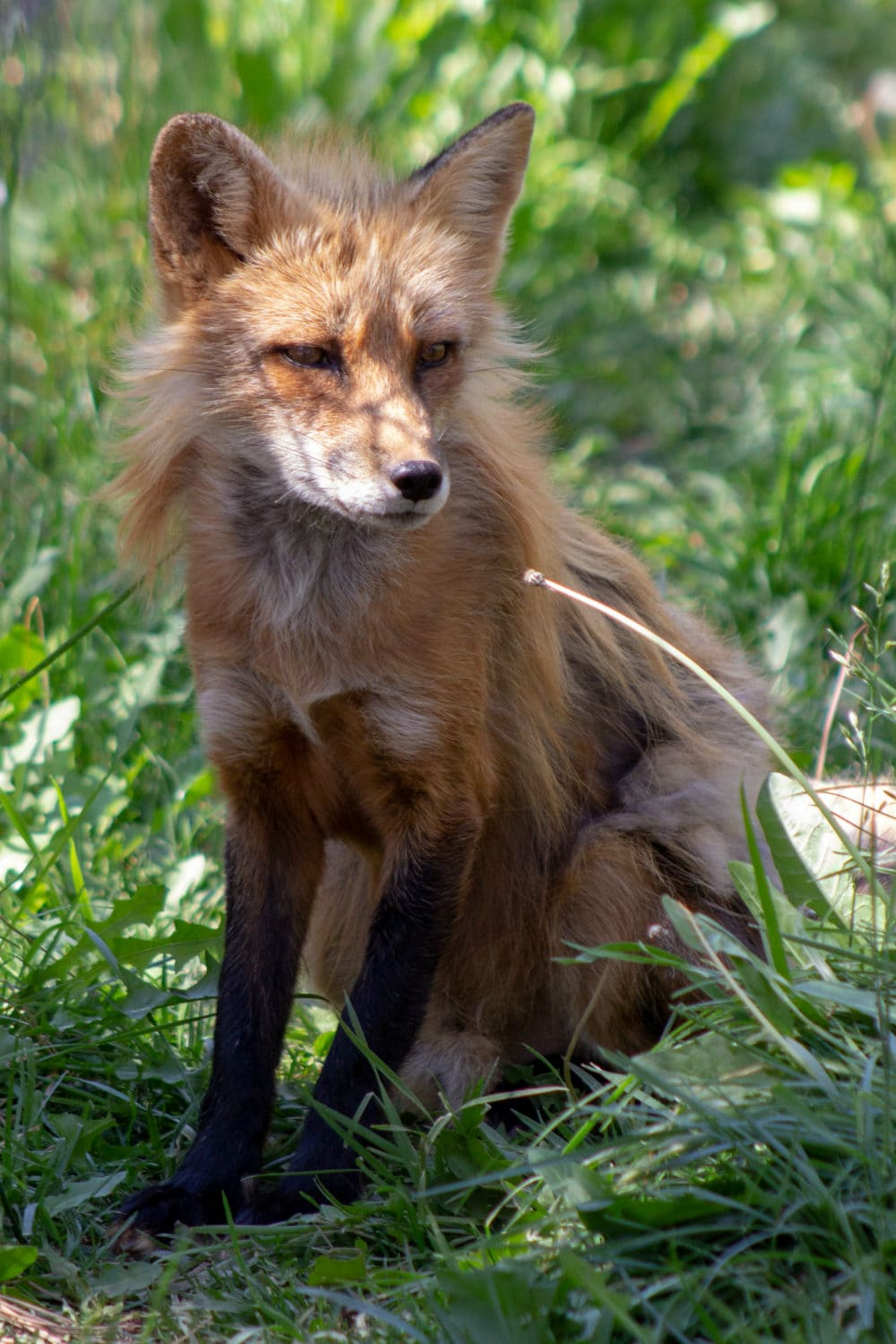 This pretty fox questions everything at Bearizona.