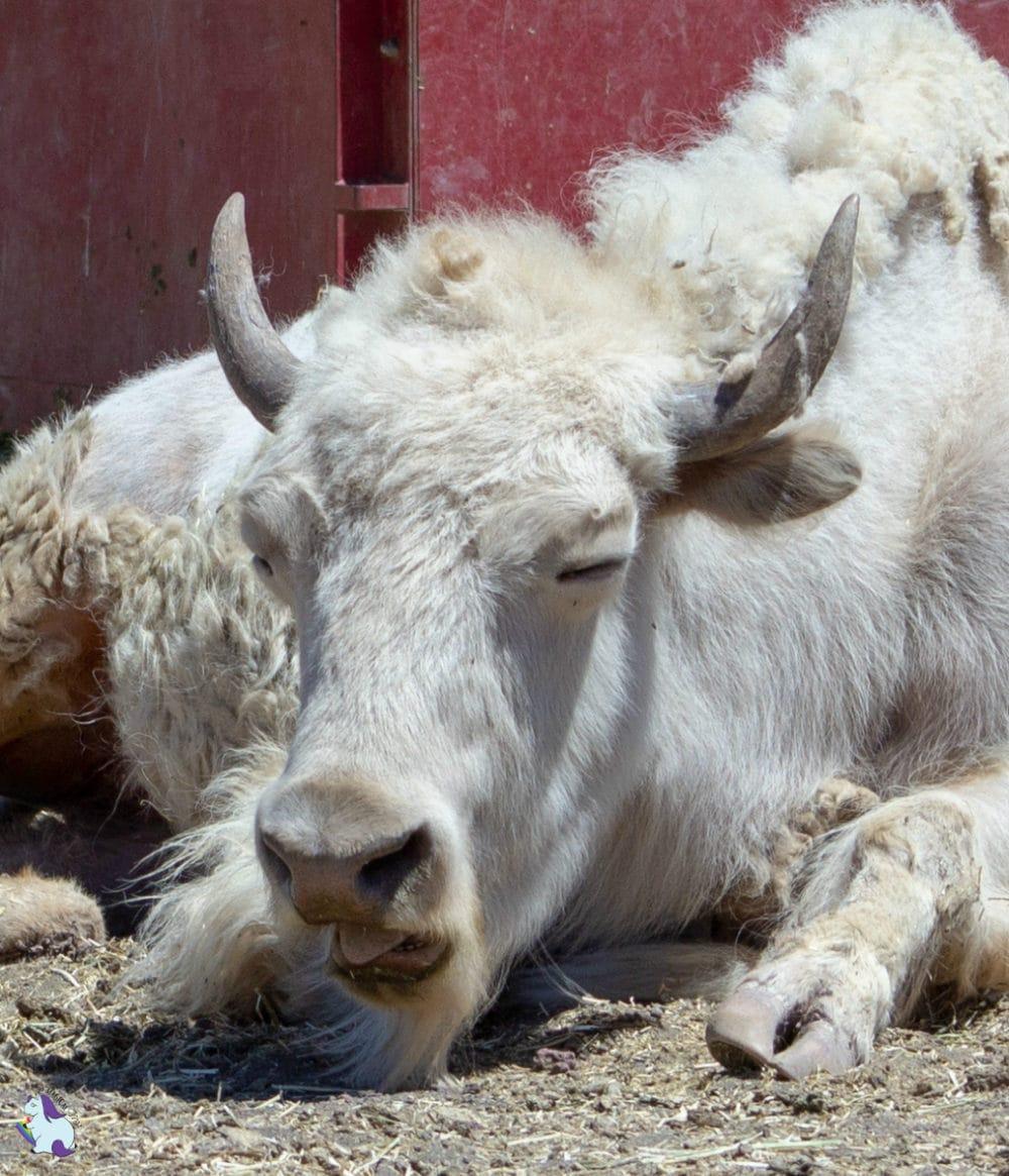 Dude. I feel ya. This funny white bison at Bearizona has had enough.