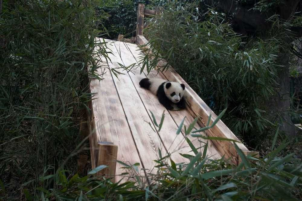Love these clumsy puffballs! Baby panda going down a slide