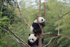 Baby PANDAS from the new IMAX movie narrated by Kristen Bell